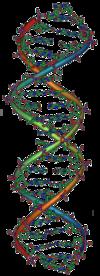Ein Modell eines DNA-Moleküls.