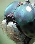 Observen cómo los ojos de esta libélula se envuelven en la parte superior de su propia cabeza.