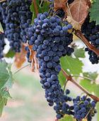 As uvas são bagas