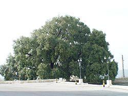 Una vecchia quercia