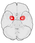Positie van de mygdala in elk halfrond van het menselijk brein