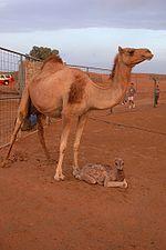 Eine Dromedar-Mutter und ihr Kalb.
