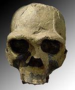 Replica del cranio fossile di Homo ergaster (Homo erectus africano). Numero fossile Khm-Heu 3733 scoperto nel 1975 in Kenya