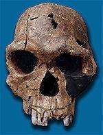Replica del cranio fossile di Homo habilis. Numero fossile KNM ER 1813, trovato a Koobi Fora, Kenya