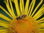動物:コンポジタエの花序にいるホバエ