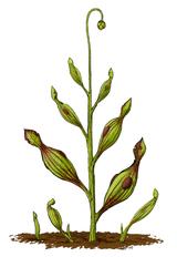 Künstlerische Darstellung von Archaeamphora, der frühesten bekannten fleischfressenden Pflanze