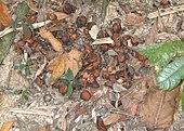 Cassowary uitwerpselen (feces) met alle zaden