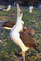 Die Himmelsrichtung ist einer der bekanntesten Paarungstänze der Albatrosse.