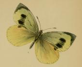 Madeiran Groot Wit (vrouwelijk)