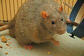 Een laboratorium rattenstam die bekend staat als een Zucker rat. Deze ratten worden gefokt om genetisch gevoelig te zijn voor diabetes, dezelfde ziekte die bij mensen voorkomt.