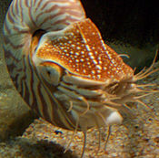 Nautilus tentakels