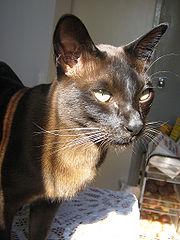 Een typische bruine Birmese kat