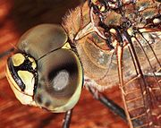 L'occhio composto di una libellula