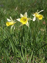 Die Narzisse ist ein Symbol für den Monat März, wenn auf der Nordhalbkugel der Frühling beginnt.