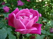 De Rosa chinensis is een bloem die de maand mei symboliseert.