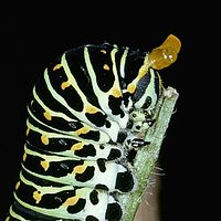 Gąsienica jaskółka (Papilio machaon) Starego Świata pokazująca swój osmeterium