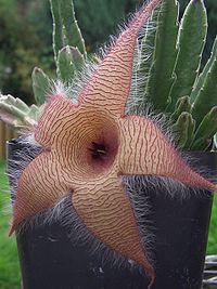Sapromyophile Stapelia gigantea