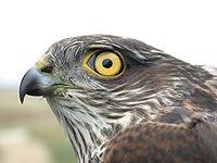 Žluté oko tohoto mladého samce krahujce (chyceného kvůli kroužkování) se může změnit na oranžové.