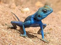 Dies ist zwar sehr auffällig, aber keine warnende Färbung. Es handelt sich um eine männliche Eidechse, Agama sinaita, Jordanien, nahe dem Roten Meer. Während der Läufigkeit färbt sich das Männchen auffallend blau, um Weibchen anzulocken. Seine Farbe ist daher ein sekundäres Geschlechtsmerkmal.
