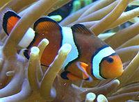 Clownvis in zijn zeeanemoon