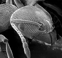Der Kopf einer Ameise: Chitin-Typ