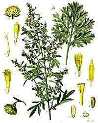 Grande Pelyněk, jedna ze tří hlavních bylin používaných při výrobě absintu.