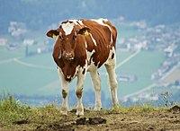 Um bezerro Ayrshire em uma colina na Áustria.