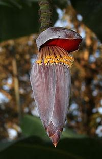 Musa x paradisiaca-Blüte
