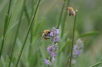 Nektar trinkende Biene