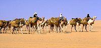 Pociąg na wielbłądach w Afryce.