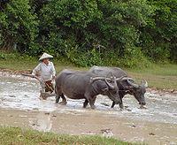 Búfalo de água lavrando um arrozais no Camboja.