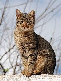 De strepen op deze standaard tabby kat helpen hem zich te verbergen in lang gras en struiken. Het is een soort camouflage.