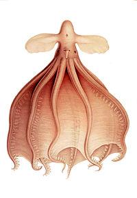 Cirrothauma , een van de Cirrina octopoden. Hij leeft in de diepzee op grote diepte
