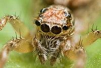 Bei dieser springenden Spinne liegen die Hauptaugen in der Mitte sehr nahe beieinander. Weitere Paare von Nebenaugen befinden sich an den Seiten und oben auf dem Kopf.