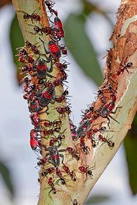 Bladhouwers nimfen beschermd door een leger van Vleesmieren. De mieren voeden zich met afscheidingen van de nimfen.