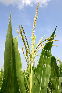 Mais (Mais) männliche Blüte (Maisquaste). Die Staubblätter der Blüte produzieren einen leichten, flaumigen Pollen, der vom Wind zu den weiblichen Blüten (Seiden) anderer Maispflanzen getragen wird.