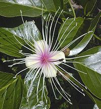 Ein Beispiel für eine 'perfekte Blume'. Diese Blüte der Crateva religiosa hat sowohl Staubblätter (äußerer Ring) als auch einen Stempel (Mitte).