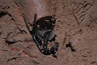 Falltürspinne (Familie: Ctenizidae), ein Raubtier aus dem Hinterhalt