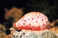 Cypraea , de kauri. Ongeveer 80% van alle bekende weekdiersoorten zijn buikpotigen.