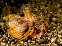 Dardanus pedunculatus Heremietkreeft met symbiotische anemonen Calliactis sp. bevestigd aan zijn schelp. De anemonen bieden bescherming met hun prikkende cellen, en ze krijgen mobiliteit van de krab.