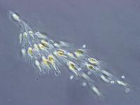 Dinobryon , eine Kolonialalge aus der Gruppe der Chrysophyceae