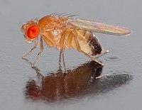 Volwassen Drosophila melanogaster