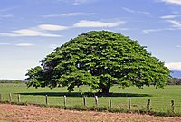 Würgerfeigenbaum in Costa Rica. Lokal bekannt als Guanacaste