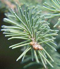 Listy smrku ztepilého (Picea glauca) jsou jehlicovité a jejich uspořádání je spirálovité.