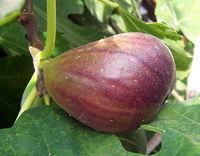 Ein gewöhnliches Feigen-Syconium (Frucht)