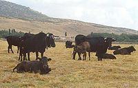 Em muitos lugares a posse de gado é um sinal de riqueza.