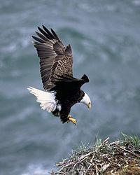 Der Weißkopfseeadler, seit 1782 der Nationalvogel der Vereinigten Staaten.