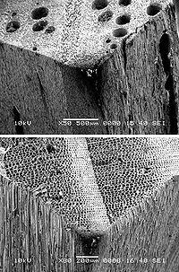 Der Unterschied zwischen Hart- und Weichholz unter dem Mikroskop; oben Eiche, unten Kiefer.
