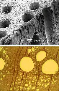 REM-Bild (oben) und Transmissionslichtmikroskop-Bild (unten) von Gefäßelementen in Eiche
