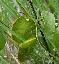 Deze kapsprinkhaan gebruikt camouflage om zich in het gras te verbergen